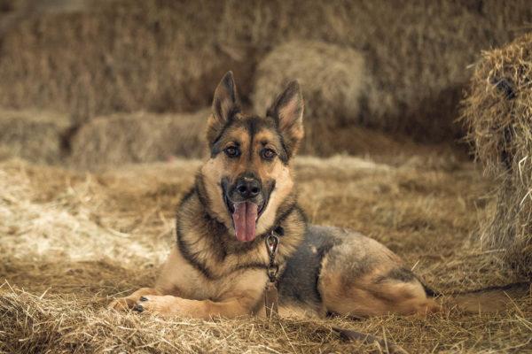 7 grote hondenrassen voor op de boerderij