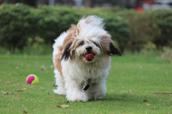 10 Leuke kleine hondenrassen (met foto)!