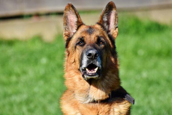 Wat mag een hond met nierproblemen eten?