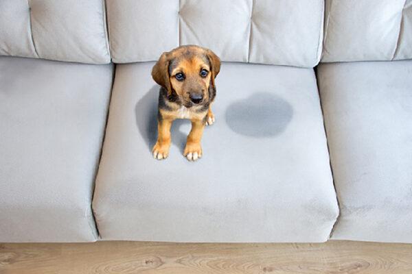 Urine van je hond in huis! Hoe krijg je die lucht weg?