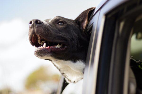 Hoe vervoer je een hond in de auto?