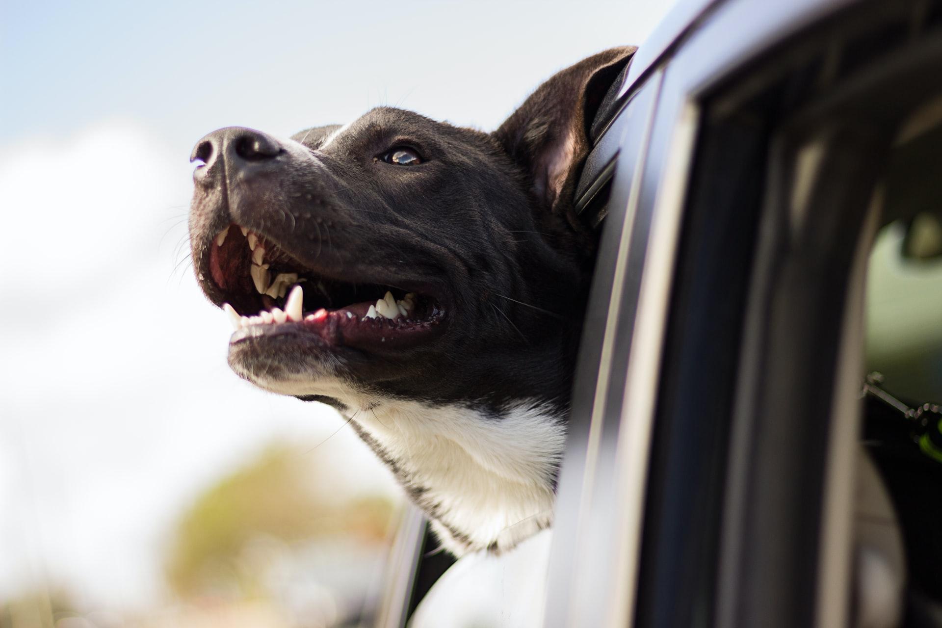 hond in auto vervoeren